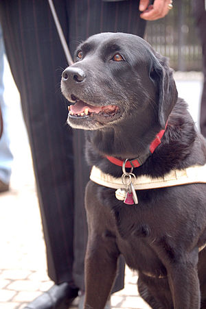A black Labrador Retriever as a guide dog duri...