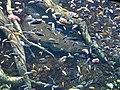 Lac Malawi Cichlid tank Georgia Aquarium.jpg