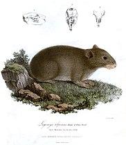 LagomysAlpinusRoyle.jpg
