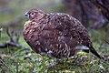 Lagopus lagopus - adult (Denali, 2010).jpg
