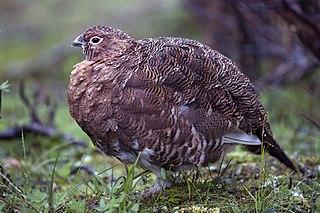 Willow ptarmigan Species of bird