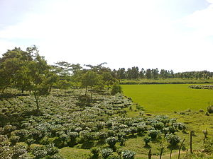Goalpara district - Tea plantation in Goalpara district