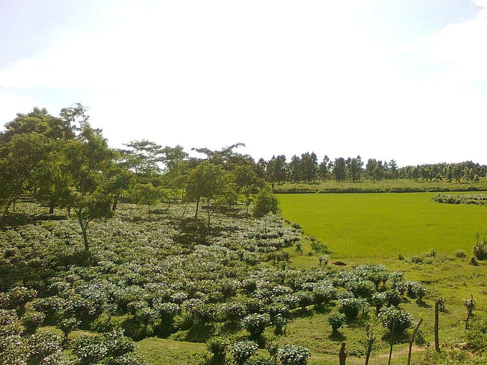 Tea plantation in Goalpara district