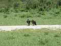 Lappet faced vultures (394308690).jpg