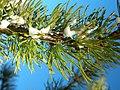 Larix lyallii foliage RuneLake.jpg