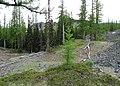 Larix occidentalis 3.jpg