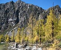 Larix potaninii trees Huluhai.jpg