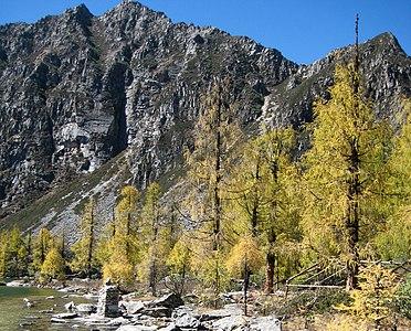 Larix potaninii trees Huluhai