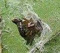 Larvae ? (38955494274).jpg