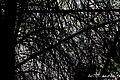 Las ramas secas de este pino crean autopistas para los insectos - panoramio.jpg
