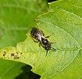 Lasioglossum species (37052291236).jpg