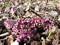Lathraea squamaria subsp. squamaria sl7.jpg