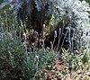 Lavender flowers 02.jpg
