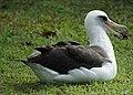 Laysan Albatross (12045145164).jpg