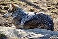 Lazy Wolf (8505326591).jpg