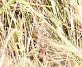 Le Conte's Sparrow, McCool's Pond, Indiana, September 29, 2012 (8039552953).jpg