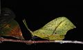 Leaf Grasshopper (Systella sp.) (8740956399).jpg