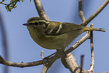 Lemon-rumped Warbler Fambong Lho Wildlife Sanctuary Sikkim 29.03.2014.jpg