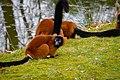 Lemur (25990220537).jpg