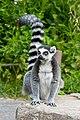 Lemur (36254428284).jpg