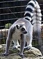 Lemur 1 (4469753285).jpg