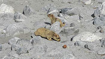 Lemur in Leh ladakh 10.jpg