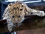 Leopard in the Colchester Zoo.jpg