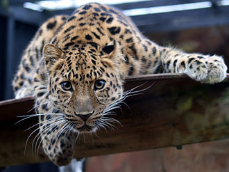 Amur leopard - Image: Leopard in the Colchester Zoo