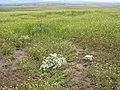 Lepidium papilliferum habitat 3.jpg