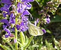 Leptidea an Blume.jpg