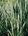Les Plantes Cultivades. Cereals. Imatge 1800.jpg