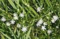 Lesser Stitchwort (Stellaria graminea) - geograph.org.uk - 195727.jpg