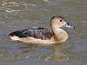 Lesser Whistling Duck RWD1.jpg