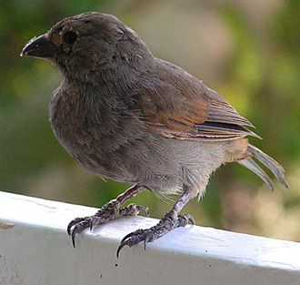 Fauna of Barbados - The Barbados bullfinch is an endemic species.