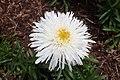 Leucanthemum × superbum 'Aglaia' 02.jpg