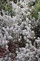 Leucophyllum frutescens 15zz.jpg