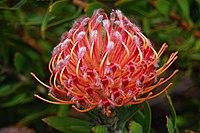 Leucospermum cultivar Edit.jpg