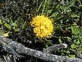 Leucospermum hypophyllocarpodendron subs canaliculatum flower2.JPG