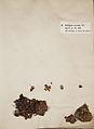 Lichenes Helvetici I II 1842 016.jpg