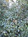 Liguster 20050906 054.jpg