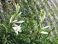 Lilium candidum (14412136935).jpg