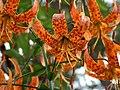 Lilium humboldtii ocellatum - Corral Canyon, Santa Monica Mountains, Los Angeles County.jpg