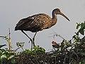 Limpkin - Aramus guarana, Green Cay Nature Center, Boynton Beach, Florida (26616400078).jpg