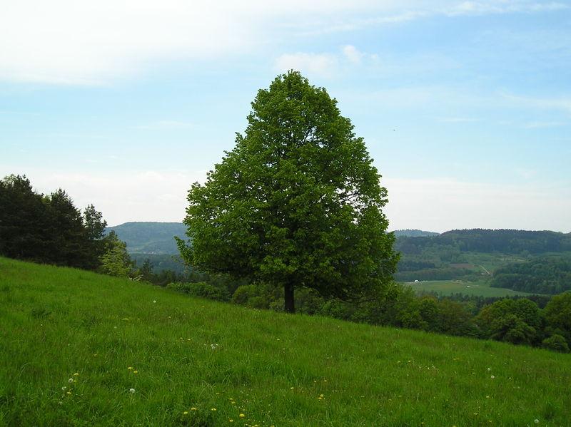 File:Linde-oberhalb-Regensberg-16-05-2005.jpeg
