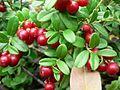 Lingonberries with green leaves.jpg