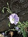 Linum alpinum kz02.jpg