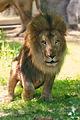 Lion Crouching (18822480796).jpg