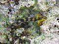 Lipophrys adriaticus Krk.JPG