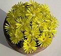 Lithops dorotheae in flower.jpg