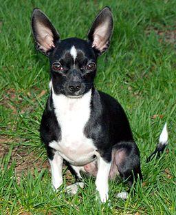 Little Man Chihuahua by David Shankbone